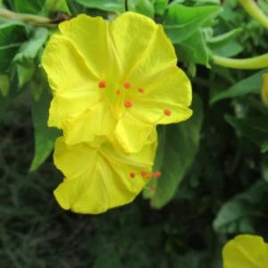 黄色いオシロイバナ(白粉花)