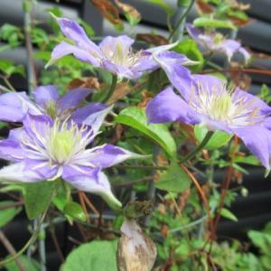 クレマチスの花と実