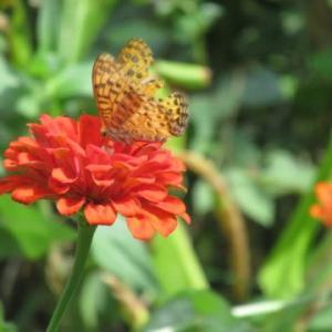 ひゃくにちそう(百日草)に豹柄の蝶