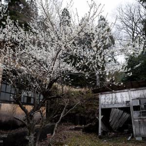 野迫川村立池津川小学校 ~廃校の桜~