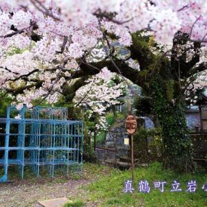 真鶴町立岩小学校 ~廃校の桜~