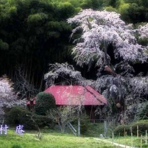 雪村庵(雪村桜)