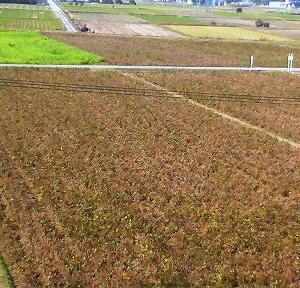 大豆の収穫間近
