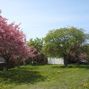 ただいま桜満開!!