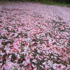 桜のジュウタン♪