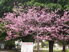 公園の桜 満開になりました!