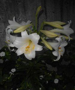 近隣のテッポウユリ 開花♪