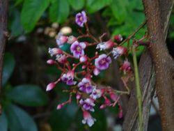 お庭のスターフルーツの花