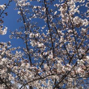 藤が丘の桜まつり
