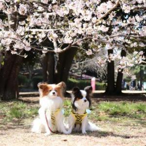 早咲きの桜と♪