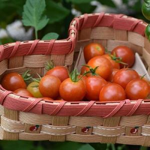 夏野菜の収穫に手作りのかごを使っています。