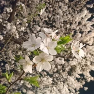 もう一度Sakura♡