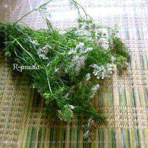日本★大阪 香菜(パクチー)の花(2021.06.27)