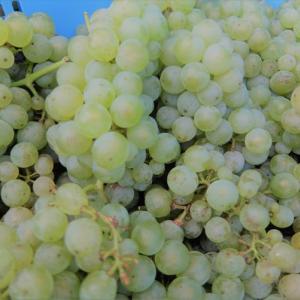 白ワイン用ぶどうのケルナー収穫