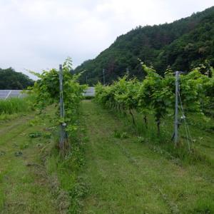 ワインぶどうのカーテン仕立て栽培