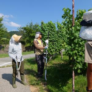 日本のワインぶどう栽培にあった摘心機をつくりたい。