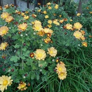 庭の小菊と紅葉とドングリと