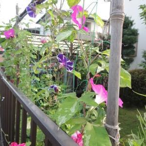 梅雨の晴れ間の菜園&花壇