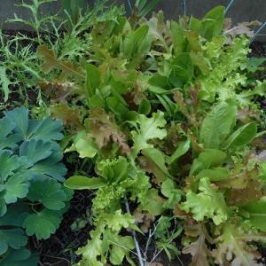 ミニ菜園の野菜の栽培に猫が協力