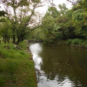 八景水谷の古代蓮