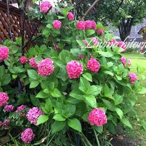 大雨の後の紫陽花とモナルダ