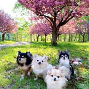 桜とチワワ~