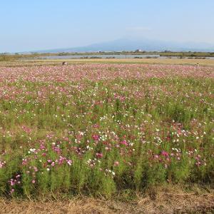 秋桜③~自然干陸地フラワーゾーン