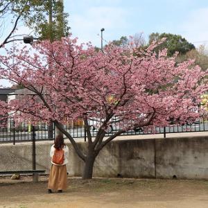 諫早公園の大寒桜