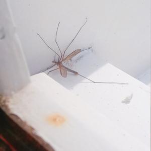 フランス北部の蚊。10等身(TдT)