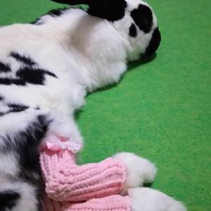 うさぎさん用ソアホック治療ソックスの、着用画像をお送りいただきました☆(モージョちゃん)