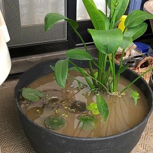 スイレン鉢とホットトイズ「キャプテン・マーベル」やっと開封!