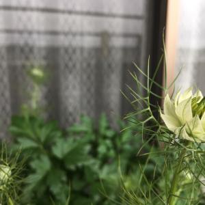 ニゲラとコリアンダーの花が咲いてます