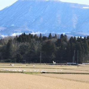 【吉川タイムズOnline】百年に一度の風景か~積雪ゼロ、如月の圃場に白鳥舞う