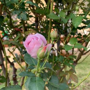 小さくて可憐な秋バラに癒されています♡