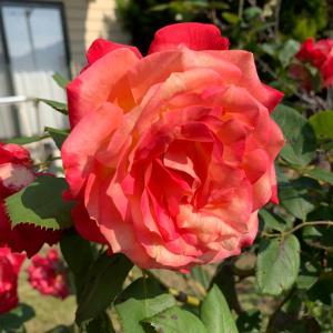 お庭のバラは小さめだけど良い香り〜♡