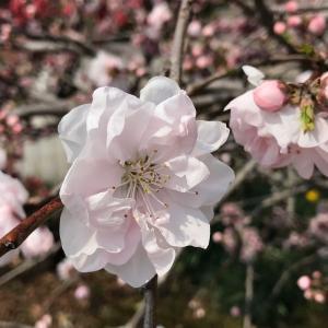 桜の季節を意識して薄〜いピンクの桜色にネイルチェンジ!!