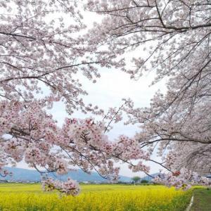 満開の桜ドライブ 粉河寺~桃源郷~明日香