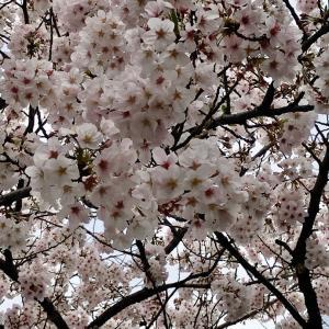 まだ散らない桜