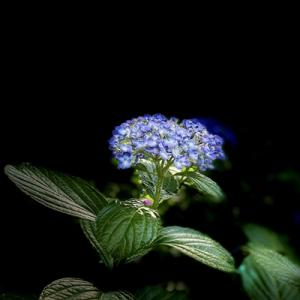 本光寺の紫陽花 ①