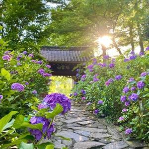 本光寺の紫陽花 ②