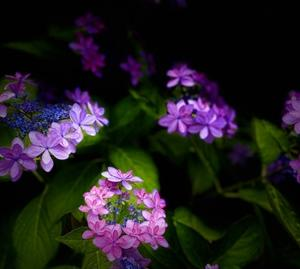 再び紫陽花