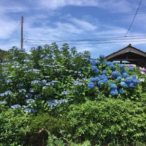今年も金仙寺のアジサイがキレイに咲いています...♪♪