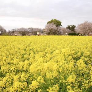 成田ゆめ牧場の、菜の花畑がとてもキレイでした... (^^♪