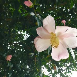 オフィスから 山茶花 ( サザンカ ) が咲きはじめたのを眺められます... (^^♪