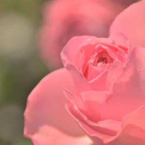 薔薇のほほえみ