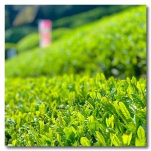 新茶摘み体験