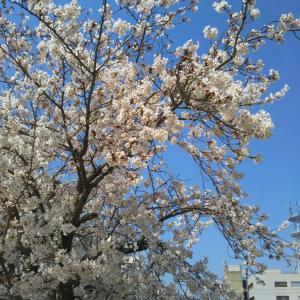歩きながら花見を楽しむ