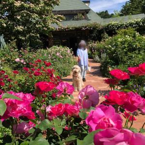 軽井沢、美しい薔薇に囲まれ、優しい香りに包まれて。レイクガーデンお散歩。