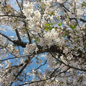 櫻、咲いた