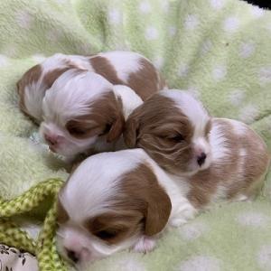 ナナの子☆生後3週間をすぎました!キャバリアの子犬たち☆